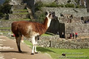 Lhama nas ruínas de Machu Picchu